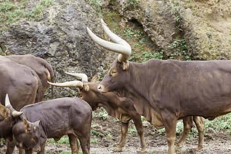 animales salvajes: Watusi wild, animals in the wild mammals, bighorn Foto de archivo
