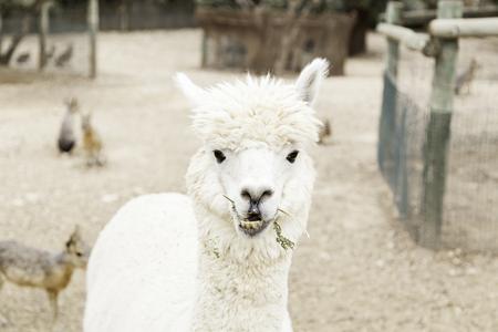 alpaca animal: White alpaca, detail animal nature mammal
