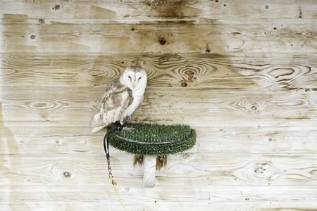 night owl: Wild owl in captivity, detail of a night owl Stock Photo