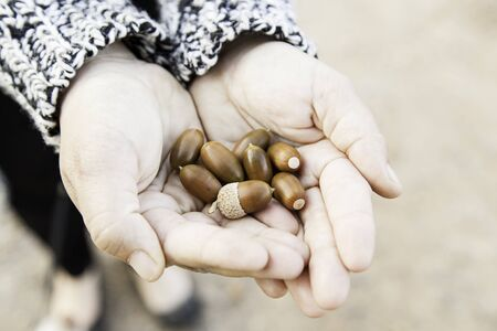 acorn seed: Hands with acorns, detail some fresh fruit in a forest Stock Photo