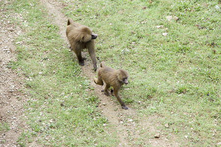 primates: Wild baboons in the wild, detail about primates, monkeys