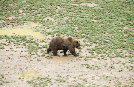 animales salvajes: Wild grizzlies detail about wild animals, animal life Foto de archivo