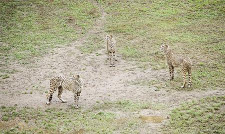 predators: Wild cheetah detail feline in nature, wild predators Stock Photo