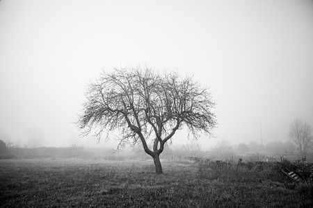 haunted: Dry tree in the mist, detail from a tree in the field, cold and fog