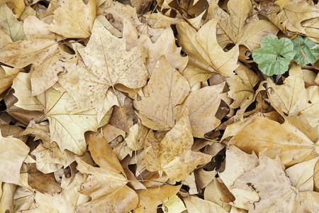hojas secas: hojas caídas en otoño, el detalle de las hojas secas en una temporada