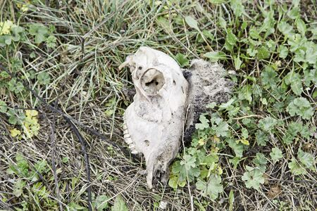 decomposed: Skull of sheep in the field, detail from a dead animal and decomposed Stock Photo