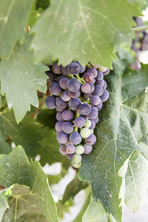 Bunch of grapes in a vineyard, detail of fresh fruit, wine cellar, la rioja