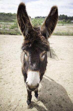 Donkey on a farm, detail of a mammal animal, farm animal Stock Photo