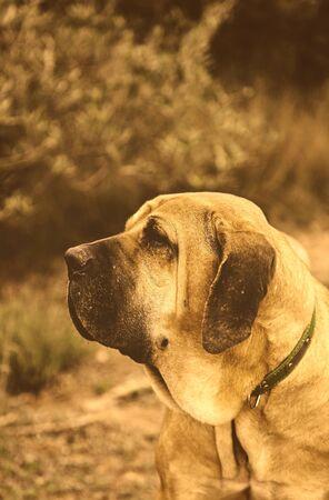 Spanish hound, detail of a purebred dog, pet