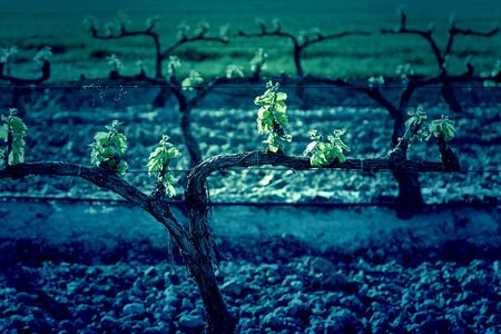 adelaide: Vineyard, detail of some vineyards in the countryside, vineyards, wine