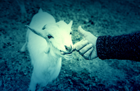 fondling: Fondling a goat on a farm, detail of a mammal, large producer