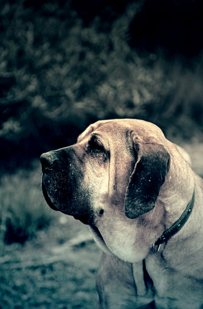 Spanish hound, detail of a purebred dog, pet