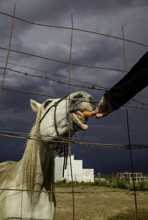 Feeding a horse, detail of animal care and feeding