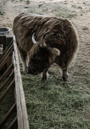 Ox on a farm, detail of a mammal, domestic animal Reklamní fotografie
