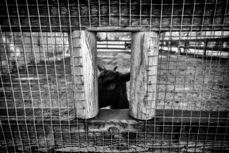 Little goat, farm animal detail Stok Fotoğraf