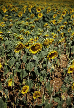 Sunflowers field, detail of plants in nature, organic farming