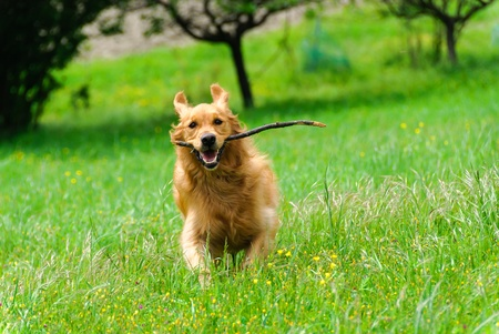 golden retriever running with stick in mouth