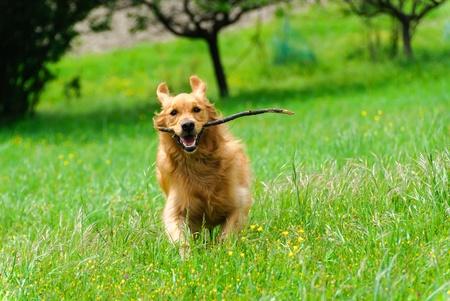 dog nose: Golden retriever in esecuzione con un bastone in bocca Archivio Fotografico