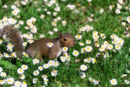 squirrel in a field of daisies in Genoa photo
