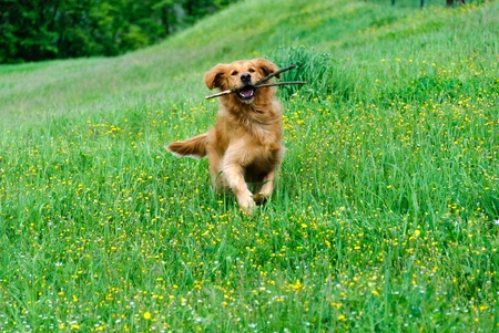 golden retriever while running with a stick in the mouth