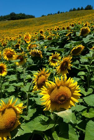 sunflower field in the hills in Predappio 스톡 콘텐츠