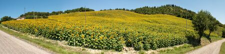 apennines: overview of a field of sunflowers on a hill