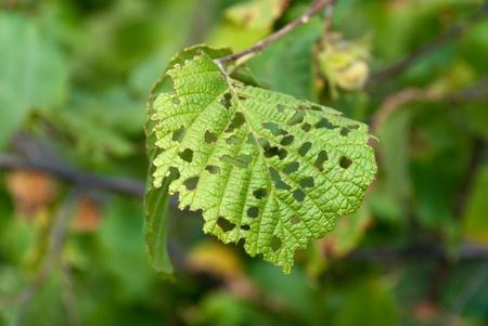 hazel tree: hazel tree leaf eaten by pests