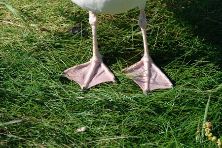 webbed legs: detail of the legs with webbed feet of a gull
