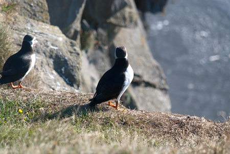 puffins: puffins from behind Vik in Iceland