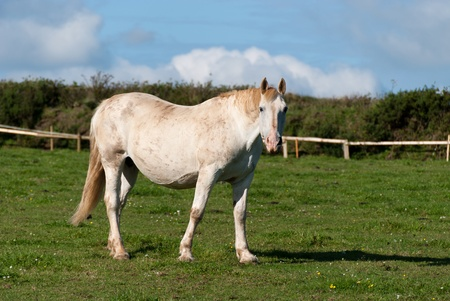 fenced in: horse in a fenced in Cornwall