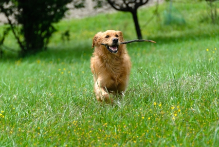 golden retriever while running on the grass with a stick in the mouth
