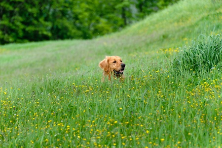 face of a golden retriever dog in the grass