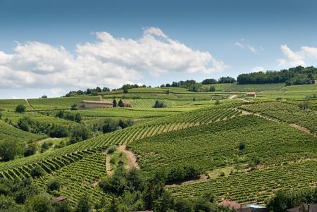 vineyards on the hills of Piedmont in Italy