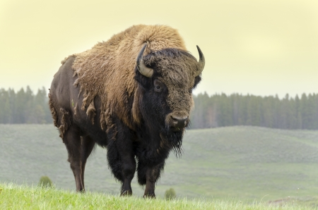 yellowstone: bison in grasslands of Yellowstone National Park in Wyoming in the United States of America