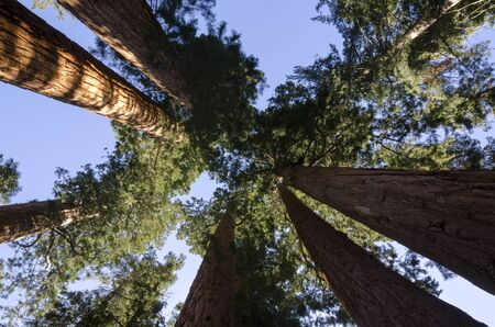 redwoods in Sequoia National Park in California in the United States of America photo