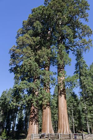 three redwoods in Sequoia National Park in California in the United States of America photo