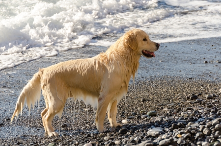 Golden Retriever in the waves in the sea in Camogli