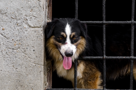 border collie behind the bars of metal Stock Photo - 17303693