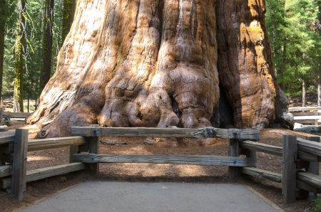 base of sherman tree, giant sequoia in Sequoia National Park in California in the United States of America 版權商用圖片