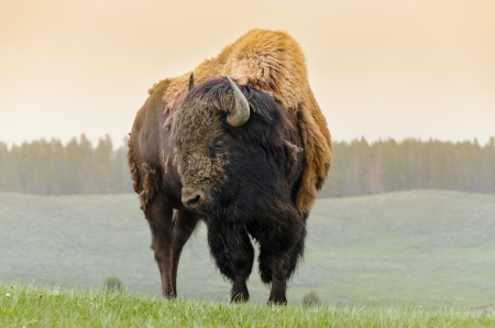 bison in Yellowstone National Park in Wyoming 版權商用圖片 - 19550689