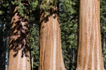 tres troncos de secuoya en el Parque Nacional Sequoia en California Foto de archivo - 20366888