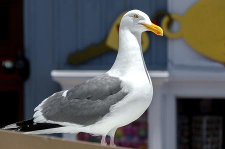 closeup of a seagull in San Francisco