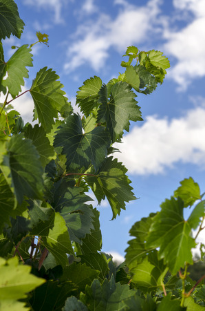 leaves of a vineyard with clouds and sky in September photo