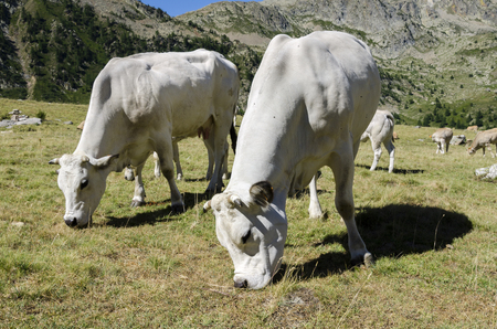grazing cows on the Alps between France and Piedmont photo
