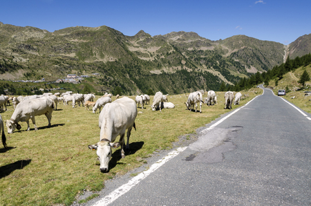 herd grazing on the Alps between France and Piedmont photo