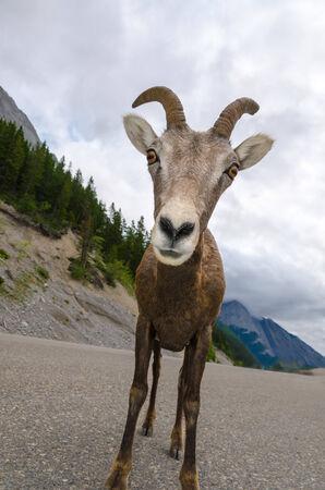 cabra montes: cabra de monta�a en primer en Jasper, Canad�