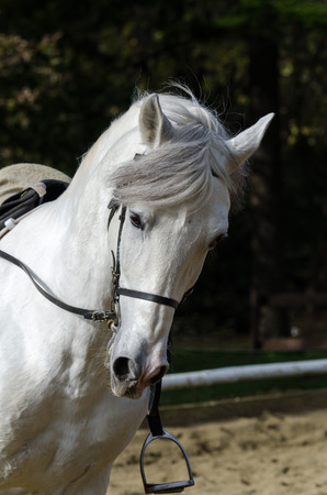 white horse galloping in a riding school