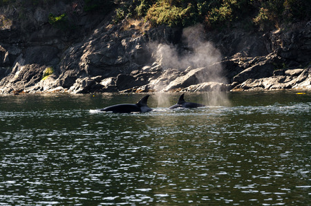 pod of orcas Killer Whale between the islands of Vancouver photo