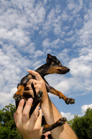 pinscher nano with sky and claud Stock Photo