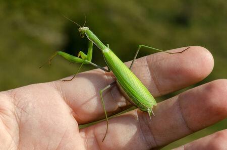 praying mantis: praying mantis on a green hand Stock Photo